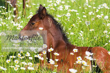 Missouri Fox Trotter Foal Lying in Daisies Stock Photo - Rights-Managed, Image code: 700-03641318