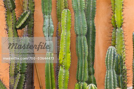 Close-Up of Cacti, Botanical Gardens, Padua, Veneto, Italy Stock Photo - Rights-Managed, Image code: 700-03644473