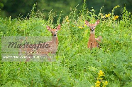 Twins Fawns, Eagle Lake near Haliburton, Ontario, Canada