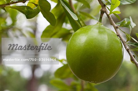 Inedible Calabash Fruit Stock Photo - Rights-Managed, Image code: 700-03696964