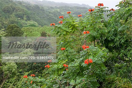 Lush Rainforest along Hana Highway, Maui, Hawaii Stock Photo - Rights-Managed, Image code: 700-03805472