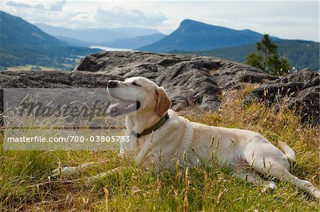 Golden Labrador Retriever, Reginald Hill, Salt Spring Island, British Columbia, Canada Stock Photo - Rights-Managed, Image code: 700-03805733