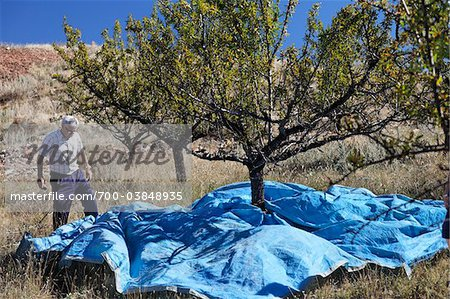 Man Harvesting Almonds, Teruel Province, Aragon, Spain Stock Photo - Rights-Managed, Image code: 700-03848935