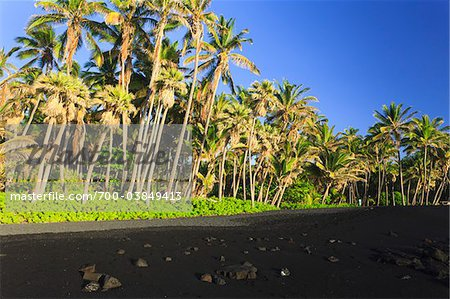 Coconut Palm Trees and Black Sand Beach, Punalu'u Beach, Big Island, Hawaii