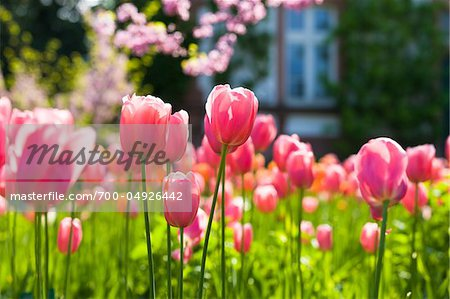 Darwin Hybrid Tulips in Bloom Stock Photo - Rights-Managed, Image code: 700-04926442