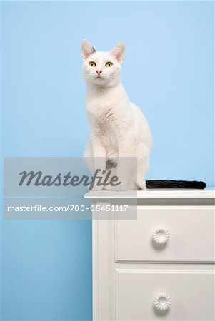 White Cat Sitting on Dresser Stock Photo - Rights-Managed, Image code: 700-05451117