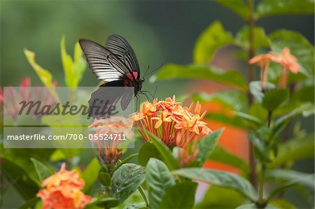 Great Mormon Butterfly, Surat Thani Province, Thailand