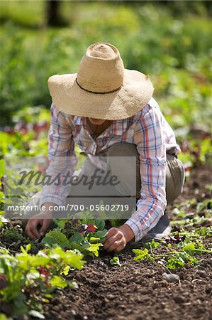 Farmer Working on Organic Farm Stock Photo - Rights-Managed, Image code: 700-05602719