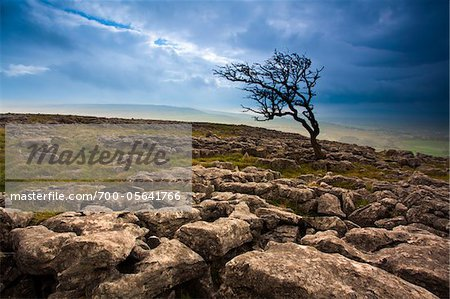 Hawthorn Tree at Twistleton Scar, Yorkshire Dales National Park, North Yorkshire, England Stock Photo - Rights-Managed, Image code: 700-05641766