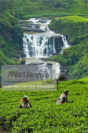 Tea Pickers at Tea Plantation by St. Clair's Falls, Nuwara Eliya District, Sri Lanka Stock Photo - Rights-Managed, Image code: 700-05642232