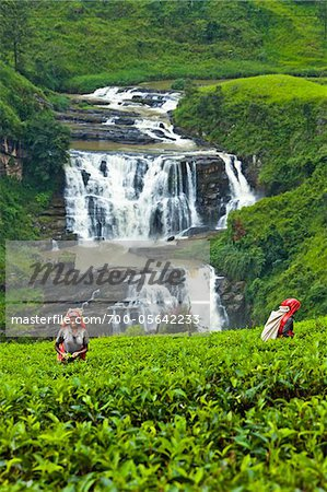 Tea Pickers at Tea Plantation by St. Clair's Falls, Nuwara Eliya District, Sri Lanka Stock Photo - Rights-Managed, Image code: 700-05642233