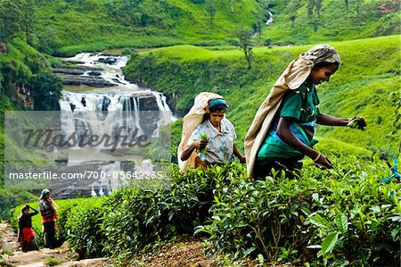 Tea Pickers at Tea Plantation by St. Clair's Falls, Nuwara Eliya District, Sri Lanka