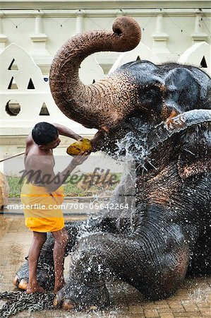 Man Washing Elephant before Perahera Festival, Kandy, Sri Lanka Stock Photo - Rights-Managed, Image code: 700-05642264
