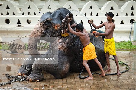 Men Washing Elephant before Perahera Festival, Kandy, Sri Lanka Stock Photo - Rights-Managed, Image code: 700-05642265