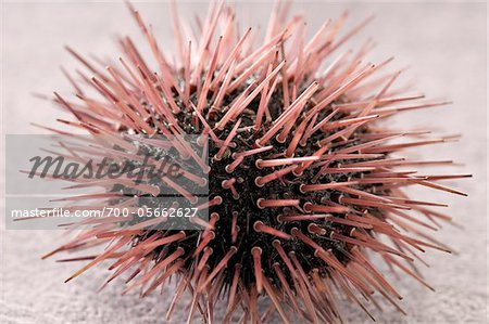 Sea Urchin Stock Photo - Rights-Managed, Image code: 700-05662627