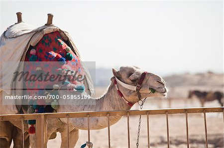 Camel at Pyramids of Giza, Cairo, Egypt Stock Photo - Rights-Managed, Image code: 700-05855189