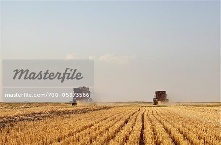 Axial-Flow Combines Harvesting Wheat in Field, Starbuck, Manitoba, Canada