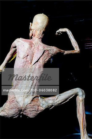 Rear View of Plastinated Human Body Without Skin Stock Photo - Rights-Managed, Image code: 700-06038082