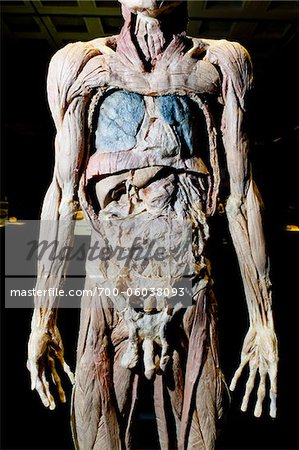 Plastinated Male Human Body Without Skin or Fat Tissue