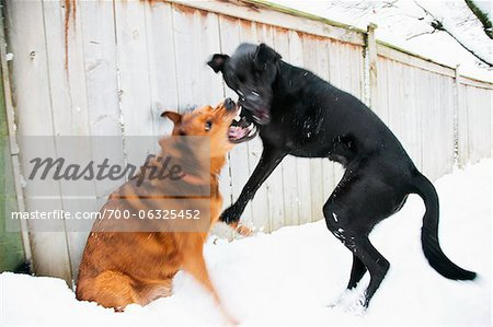 Two Dogs Play Fighting Stock Photo - Rights-Managed, Image code: 700-06325452