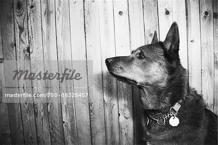 Portrait of Shepherd Mixed Breed Dog Stock Photo - Rights-Managed, Image code: 700-06325457