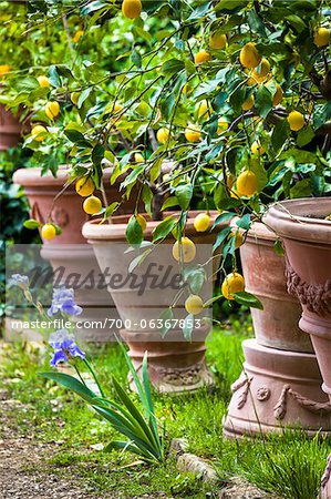 Lemon Trees in Panzano, Chianti, Tuscany, Italy Stock Photo - Rights-Managed, Image code: 700-06367853