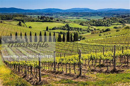 Vineyard, Chianti, Tuscany, Italy Stock Photo - Rights-Managed, Image code: 700-06367859