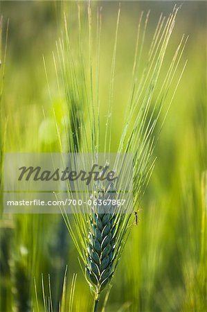 Close up of Wheat, Lilliano, Chianti, Tuscany, Italy Stock Photo - Rights-Managed, Image code: 700-06367867