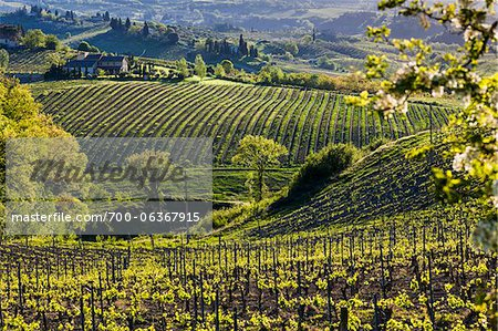 Vineyard, San Gimignano, Siena Province, Tuscany, Italy Stock Photo - Rights-Managed, Image code: 700-06367915