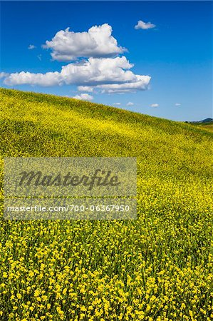 Field of Canola Flowers, San Quirico d'Orcia, Province of Siena, Tuscany, Italy Stock Photo - Rights-Managed, Image code: 700-06367950