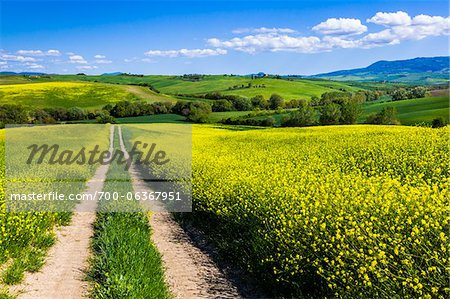 Road Through Field of Canola Flowers, San Quirico d'Orcia, Province of Siena, Tuscany, Italy Stock Photo - Rights-Managed, Image code: 700-06367951