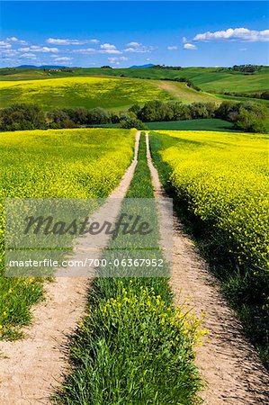Road Through Field of Canola Flowers, San Quirico d'Orcia, Province of Siena, Tuscany, Italy Stock Photo - Rights-Managed, Image code: 700-06367952
