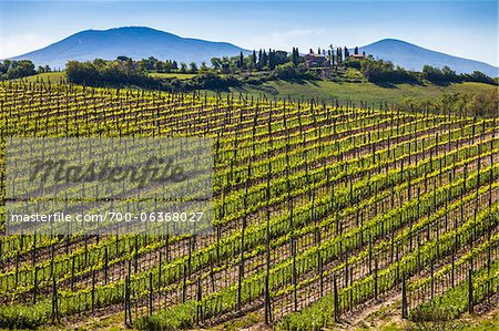 Vineyard, Montalcino, Val d'Orcia, Province of Siena, Tuscany, Italy Stock Photo - Rights-Managed, Image code: 700-06368027