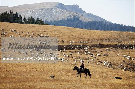 Sheep Herding, Wyoming, USA Stock Photo - Rights-Managed, Image code: 700-06383718