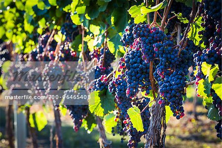 Close-Up of Grapes on Grapevines in Vineyard, Kelowna, Okanagan Valley, British Columbia, Canada Stock Photo - Rights-Managed, Image code: 700-06465408