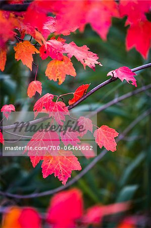 Close-Up of Bright Red Leaves on Tree in Autumn Stock Photo - Rights-Managed, Image code: 700-06465602