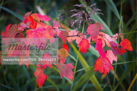 Red Leaves on Branch in Autumn Stock Photo - Rights-Managed, Image code: 700-06465603