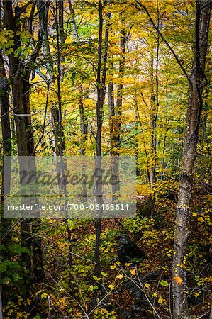 Forest Trees in Autumn, Smugglers Notch, Lamoille County, Vermont, USA Stock Photo - Rights-Managed, Image code: 700-06465614