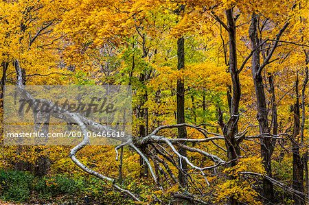 Fallen Tree and Forest Trees in Autumn, Smugglers Notch, Lamoille County, Vermont, USA Stock Photo - Rights-Managed, Image code: 700-06465619