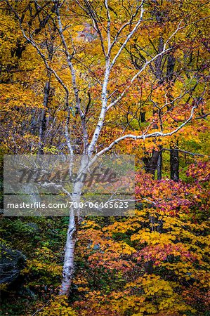 Bare Birch Tree in Forest in Autumn, Smugglers Notch, Lamoille County, Vermont, USA Stock Photo - Rights-Managed, Image code: 700-06465623