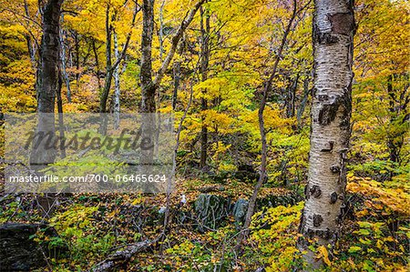 Tree Trunks and Forest Floor in Autumn, Smugglers Notch, Lamoille County, Vermont, USA Stock Photo - Rights-Managed, Image code: 700-06465624