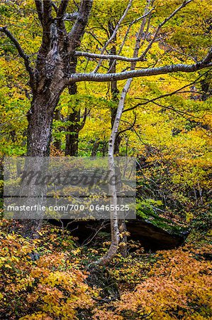 Trees and Boulder in Autumn Forest, Smugglers Notch, Lamoille County, Vermont, USA Stock Photo - Rights-Managed, Image code: 700-06465625