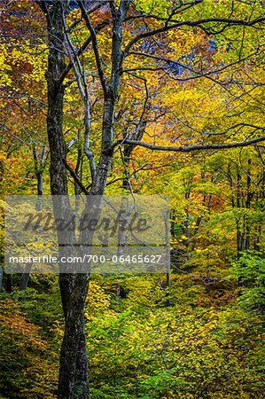 Bare Tree Amongst Lush Foliage in Autumn Forest, Smugglers Notch, Lamoille County, Vermont, USA Stock Photo - Rights-Managed, Image code: 700-06465627