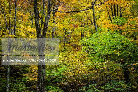 Bare Tree Amongst Forest Foliage in Autumn, Smugglers Notch, Lamoille County, Vermont, USA Stock Photo - Rights-Managed, Image code: 700-06465628