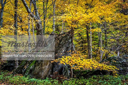 Tree Growing on top of Boulder in Autumn Forest, Smugglers Notch, Lamoille County, Vermont, USA Stock Photo - Rights-Managed, Image code: 700-06465630