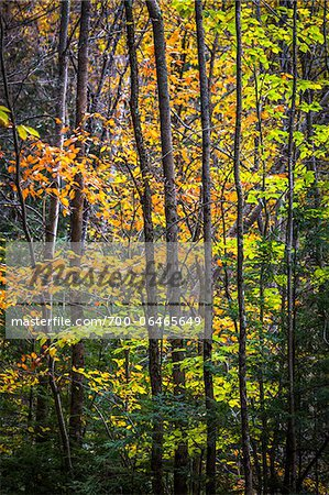 Close-Up of Forest Trees in Autumn, Moss Glen Falls Natural Area, C.C. Putnam State Forest, Lamoille County, Vermont, USA Stock Photo - Rights-Managed, Image code: 700-06465649