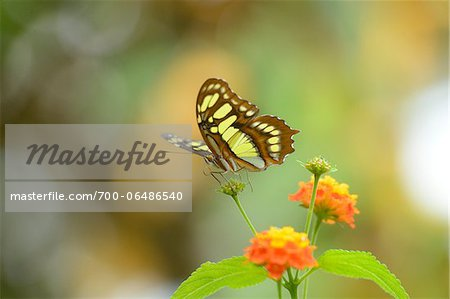 Malachite Butterfly (Siproeta stelenes) on Orange Flower Stock Photo - Rights-Managed, Image code: 700-06486540