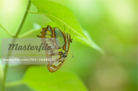 Malachite Butterfly (Siproeta stelenes) on Underside of Leaf Stock Photo - Rights-Managed, Image code: 700-06486541