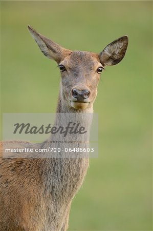 Close-Up of Red Deer (Cervus elaphus) Looking at Camera, Bavaria, Germany Stock Photo - Rights-Managed, Image code: 700-06486603
