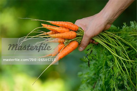 Close-Up of Hand Holding Bunch of Harvested Carrots, Bavaria, Germany, Europe Stock Photo - Rights-Managed, Image code: 700-06505723